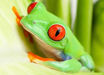 Red Eyed Tree Frog Care Sheet Reptile Centre