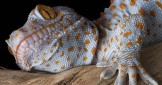 The Fabulous Tokay Gecko