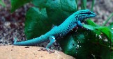 William's Dwarf Gecko – The Electric Blue Day Gecko