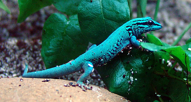 William S Dwarf Gecko The Electric Blue Day Gecko