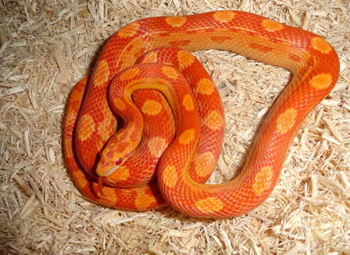 Snake Substrate