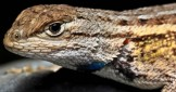 The Fascinating Crevice Spiny Lizard