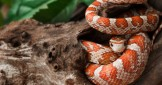 Different Name; Same Great Snake:  A General Overview of Corn Snakes