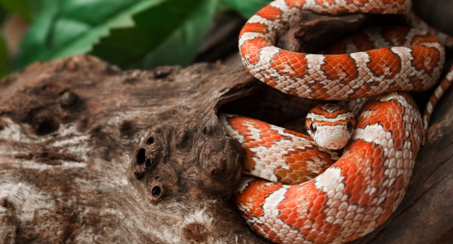 different name same great snake overview of corn snakes