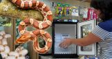 How to Incubate Corn Snake Eggs!