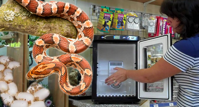 How to Incubate Corn Snake Eggs! | Reptile Centre