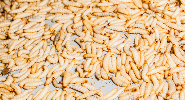Waxworms | live food
