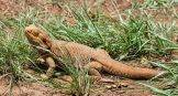 wild bearded dragon