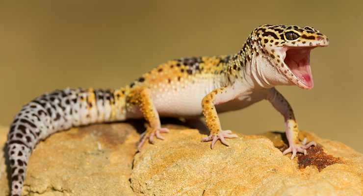 How to Care for a Leopard Gecko | Reptile Centre