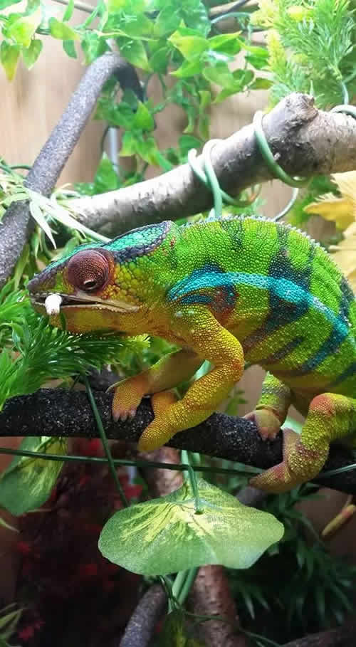 Chameleon eating a locust
