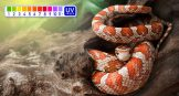 which ferguson zone are corn snakes