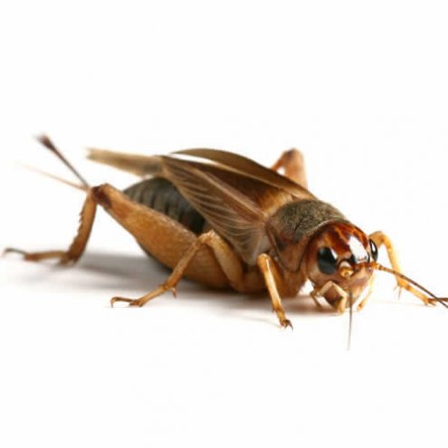 Standard Silent Brown Crickets 12-18mm - 500 Bag
