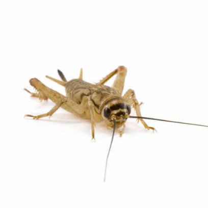 Medium Small Silent Brown Crickets 6-8mm - 175 Pack