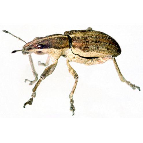 Bean Weevils - Culture