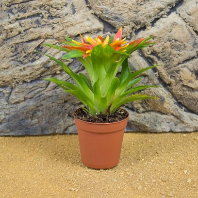 Bromeliad - Our Choice - 5cm Pot