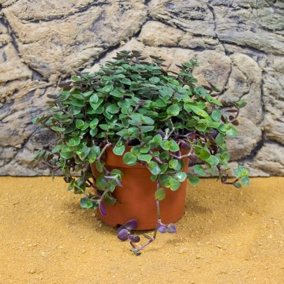 Creeping Inchplant - Callisia repens - 12cm Pot