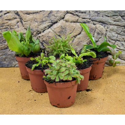 Live Plant Mini Carnivorous Collection - 6 Assorted Plants