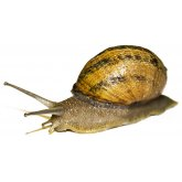 Edible Snails Medium - 8 Pack