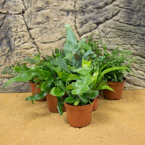 ProRep Live Plant Mini Fern Collection 6 Assorted