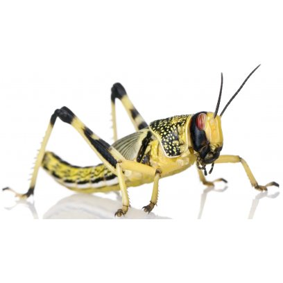 Large Locusts 20-35mm - 10 Pack