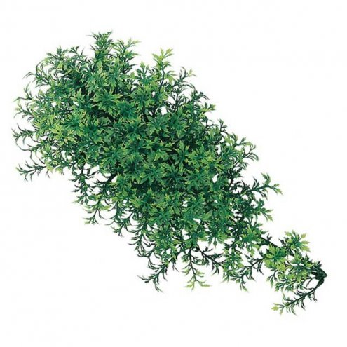 Sea-Nery Tea Leaf Ivy