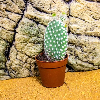 Prickly Pear - Opuntia sp. - 6cm Pot