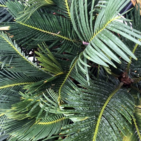 Sago Palm (Cycad sp.)