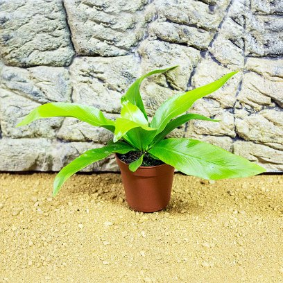 Buy Live Jungle Plants For Terrariums Vivariums