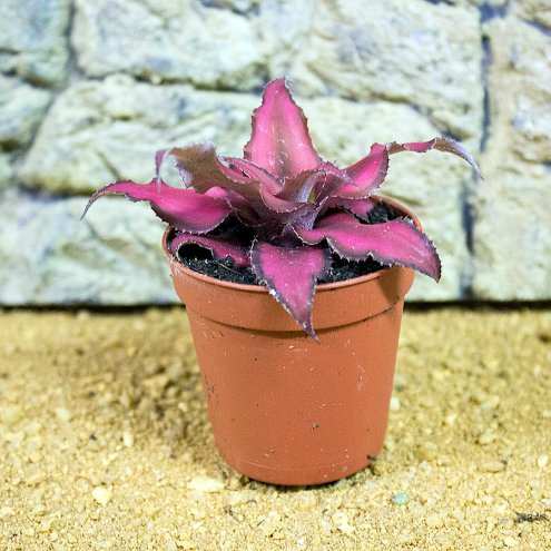 Earth Star - Cryptanthus Sp. - 5.5cm Pot