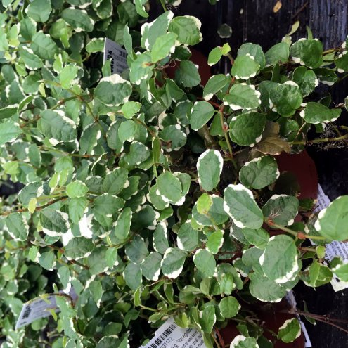 Creeping Fig 'Variegated' (Ficus pumila) - Large