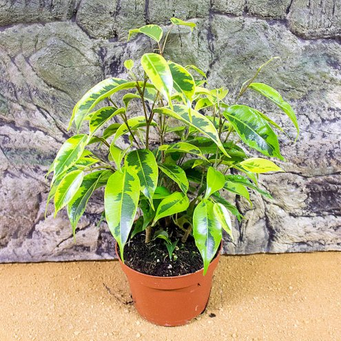 Weeping Fig - Ficus benjami - 8cm Pot