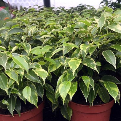 Weeping Fig 'Variegated' (Ficus benjamina) - Large