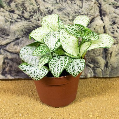 Nerve Plant - Fittonia sp. - 6cm Pot