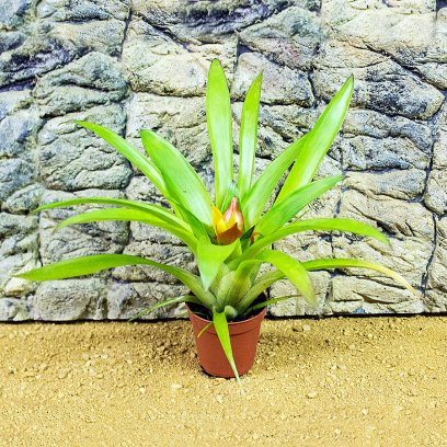 Tufted Airplant - Guzmania sp. - 7cm Pot