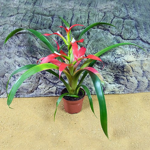 Bromeliad - Our Choice - 8cm Pot
