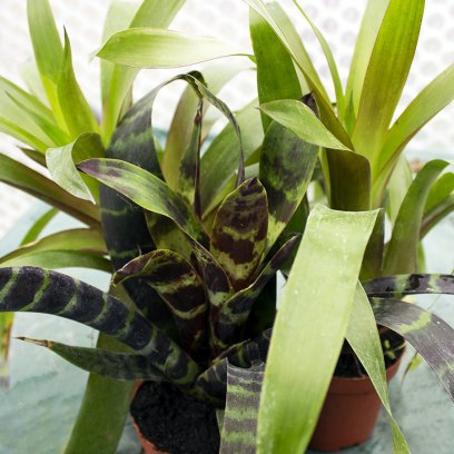 Bromeliad - Our Choice - No Flower