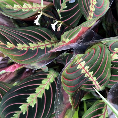 Prayer Plant (Maranta sp.) - 12cm Pot