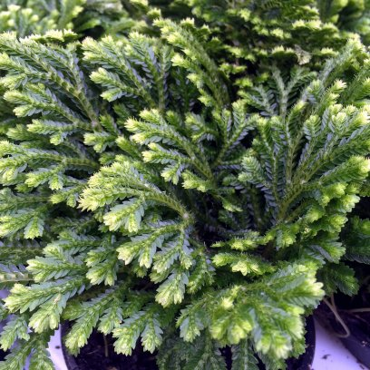 Spike Moss (Selaginella sp.) - 8.5cm Pot