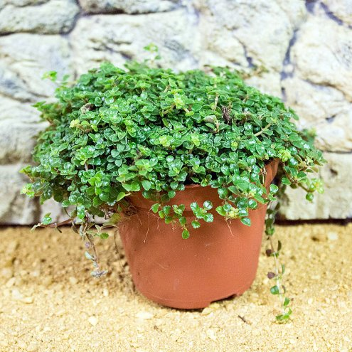 Mind Your Own Business - Soleirolia soleirolii - 8.5cm Pot