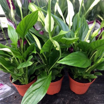 Peace Lily (Spathiphyllum sp.) - Medium