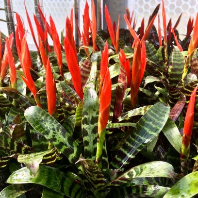 Flaming Sword (Vriesea splendens 'Era') - 5cm