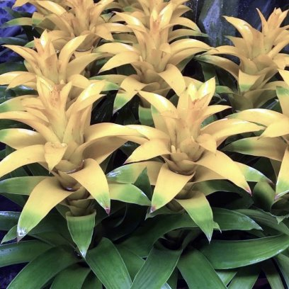 Bromeliad 'Yellow' (Guzmania sp.) - Large