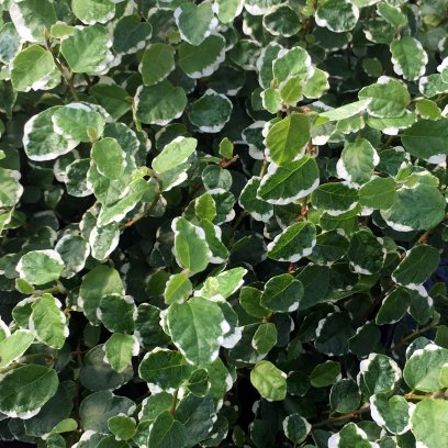 Creeping Fig 'Variegated' (Ficus pumila) - 5cm