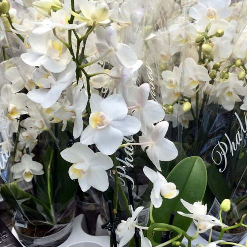 Orchid White (Phalaenopsis sp.)