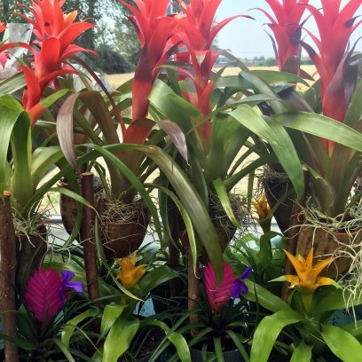 Bromeliad - Our Choice