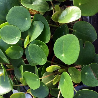 Chinese Money Plant (Pilea peperomoides) - 5cm Pot