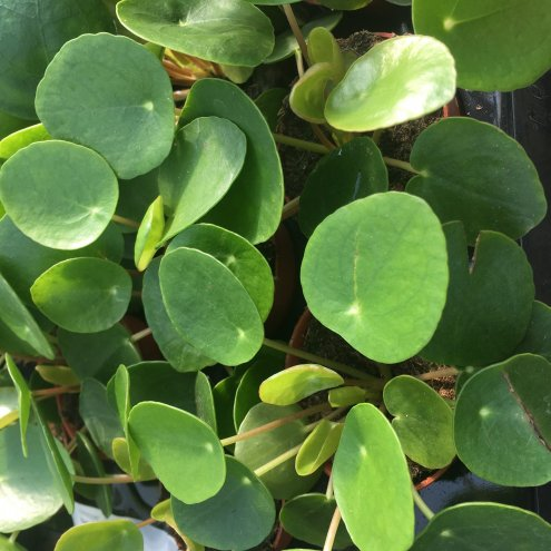 Chinese Money Plant (Pilea peperomoides) - Large