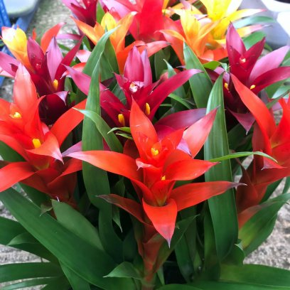 Bromeliad 'mixed colours' (Guzmania sp.) - Large