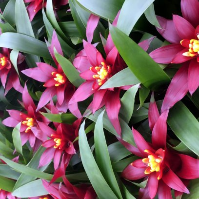 Bromeliad 'Purple' (Guzmania sp.) - Medium