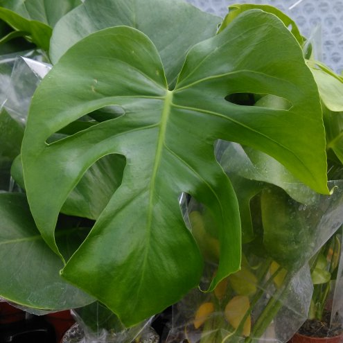 Swiss Cheese Plant (Monstera delicoisa) - Large